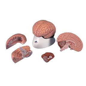 3B Scientific&trade;&nbsp;Brain Models&nbsp;<img src=